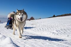 Sled dog scne. A scene from a sled dog meeting in the italian alps Stock Photo