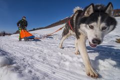 Sled dog scne Royalty Free Stock Photos