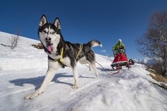 Sled dog scne Royalty Free Stock Photography