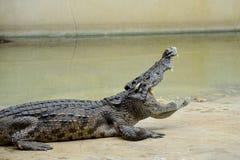 Freshwater crocodile. Stock Photography