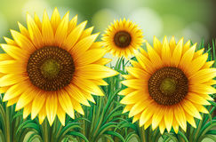 Scene with sunflowers in garden Royalty Free Stock Photos