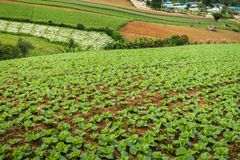 The Scene of Thailand about Big Cabbage farm on the mountain, Ph. Landscape of Big Cabbage farm on the mountain in morning, Located Phu Tubberk Phetchabun royalty free stock photography
