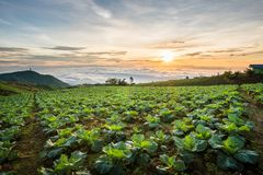 The Scene of Thailand about Big Cabbage farm on the mountain, Ph. Landscape of Big Cabbage farm on the mountain in sunrise, Located Phu Tubberk Phetchabun stock images