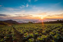 The Scene of Thailand about Big Cabbage farm on the mountain, Ph. Landscape of Big Cabbage farm on the mountain in sunrise, Located Phu Tubberk Phetchabun stock photography