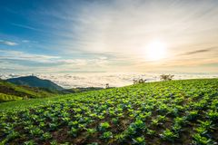 The Scene of Thailand about Big Cabbage farm on the mountain, Ph. Landscape of Big Cabbage farm on the mountain in sunrise, Located Phu Tubberk Phetchabun stock photo