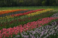Lovely field of tulips in Holland, Michigan during the Tulip Time Festival royalty free stock photos