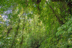Scene with trees in the dense tropical rain forest Royalty Free Stock Photography