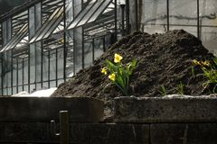 Tulip growing on soil pile stock photography