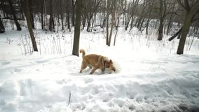 Two dogs are happy in the winter. They walk and play with each other. A scene in a winter forest. Two dogs are happy in the winter. They walk and play with each stock video
