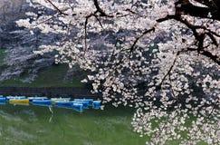 Sceneria kwitnący czereśniowego okwitnięcia drzewa kwitnie na pięknym wiosna ranku, rowboats parkuje na szmaragd wodzie i obrazy stock