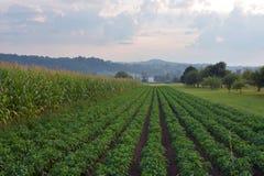 Sceneria widok kukurydzane i kartoflane plantacj uprawy wiosłuje zdjęcia stock