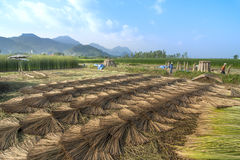 Scenery and agriculture culture of mat farm in Thailand. Scenery and agriculture culture of mat field in Thailand Stock Photography
