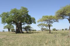 Scenery with Baobab tree in Africa Royalty Free Stock Image