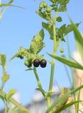 Black fruit ripe stock photo