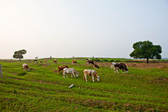 Scenery categories: Cattle Stock Image
