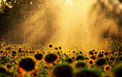 Scenery categories: Olympic Forest Park acres sunflower garden Royalty Free Stock Image