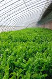 Celery hothouse. The scenery of celery hothouse royalty free stock photos