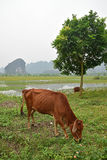 Scenery of countryside at Van Lam Village, Vietnam Royalty Free Stock Photo