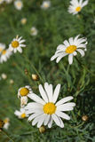 Scenery of daisy flowers on summer Royalty Free Stock Photo