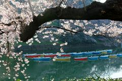 Scenery of flourishing cherry blossom trees blooming on a beautiful spring morning and rowboats parking on the blue water. Of the canal under beautiful Sakura stock images