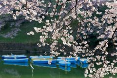 Scenery of flourishing cherry blossom trees blooming on a beautiful spring morning and rowboats parking on the canal under beautif. Scenery of flourishing cherry royalty free stock image