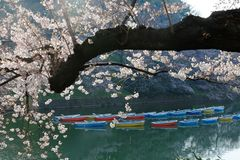 Scenery of flourishing cherry blossom trees blooming on a beautiful spring morning and rowboats parking on emerald water. Of the canal under beautiful Sakura stock photos