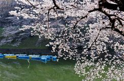 Scenery of flourishing cherry blossom trees blooming on a beautiful spring morning and rowboats parking on emerald water. Of the canal under beautiful Sakura stock images