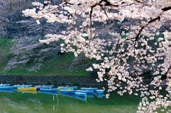 Scenery of flourishing cherry blossom trees blooming on a beautiful spring morning and rowboats parking on emerald water. Of the canal under beautiful Sakura royalty free stock photography