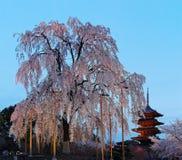 Scenery of a giant cherry blossom tree Sakura & the famous Five-Story Pagoda of Toji Temple in Kyoto, Kansai, Japan Royalty Free Stock Photo