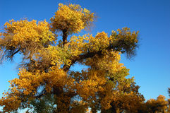 Scenery of Golden Autumn Royalty Free Stock Image