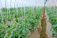 Green pepper. The scenery of greenhouse green pepper cultivation stock photography