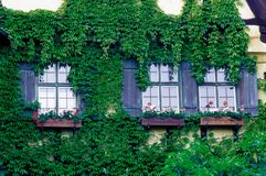 Scenery of Ivy Growing On House Stock Photography