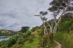 Scenery and landscapes across land and water in Waiheke Island N. View of a verdant mountainside with a warped tree in the foreground  in Waiheke Island New Stock Photography