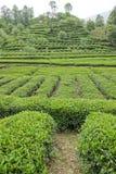 Tea plantation. The scenery of Pangming Tea Plantation in Hanzhong, Shaanxi, China Stock Images