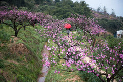 Scenery in peach orchard Stock Photo