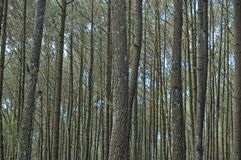 Scenery in the pine forests, tropical forests Royalty Free Stock Photography