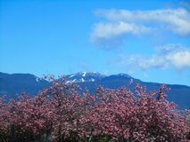 Scenery Of Pink Cherry Trees With B.C. Snow Mountain Peak In The Back ground In Spring 2019. Nature Scenery Of Pink Cherry Trees With B.C. Snow Mountain Peak and royalty free stock image