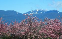 Scenery Of Pink Cherry Trees With B.C. Snow Mountain Peak In The Back ground In Spring 2019. Nature Scenery Of Pink Cherry Trees With B.C. Snow Mountain Peak and stock image