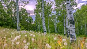 Scenery in Provo with dandelions and quakig aspen. Bautiful scenery in Provo, Utah with puffy white dandelions and quaking aspen trees on a grassy field. A stock images