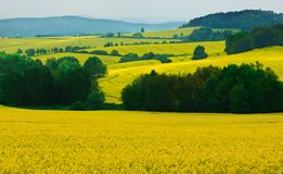 Scenery with rapeseed flowers Royalty Free Stock Image