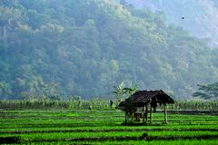 Shack in the middle of rice field stock images