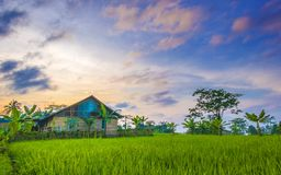 The scenery of small house in the middle of rice fields. Captured at sunrise with epic and beautiful sky Royalty Free Stock Image