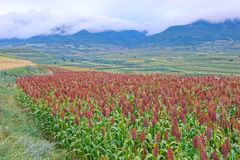 Sorghum field. The scenery of sorghum field on mountain slope royalty free stock images