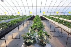 Strawberries hothouse. The scenery of strawberries hothouse stock photo