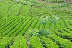 Tea plantation. The scenery of tea plantation in mountains stock image