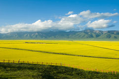 Scenery of Tibetan plateau. The scenery of cole flower field in County Menyuan Province Qinghai China. It is the beautiful natural scenery and culture landscape Royalty Free Stock Images