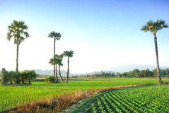 Scenery view of rice field in Chiangmai Thailand Royalty Free Stock Photos