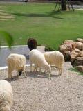 The Scenery Vintage Farm, Thailand. Sheep Farm in a meadow Stock Photo