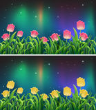 Scenes with pink and yellow tulip flowers at night Stock Images
