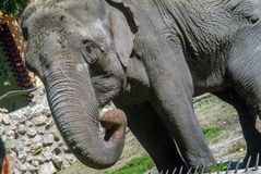 Scenes from the zoo garden. Portrait of an elephant. stock images